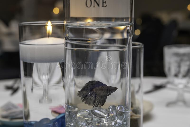 Betta Fish Center Piece sur un Tableau photographie stock libre de droits