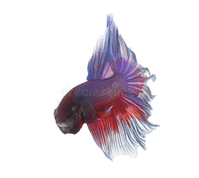 Betta Fish closeup. Colorful Dragon Fish. Aquarium. Isolated on a white background stock photo
