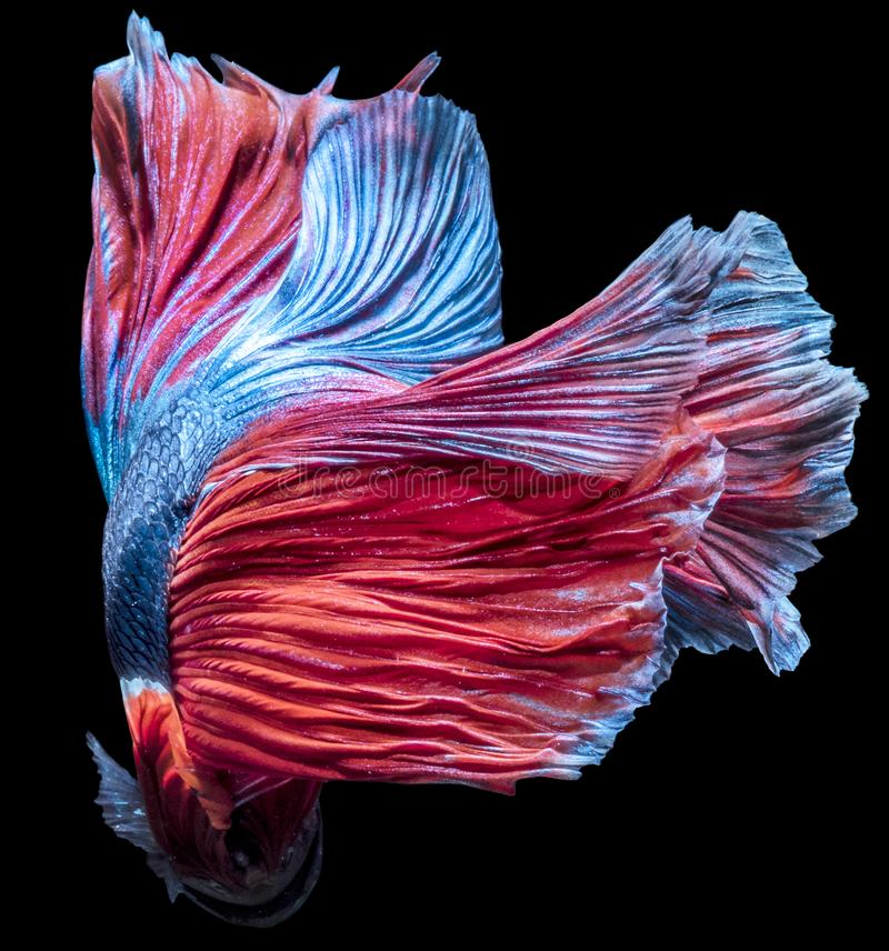 Betta Fish fancy halfmoon movement on darkness Background with clipping parth. Betta Fish fancy blue & red halfmoon movement on darkness Background stock photography
