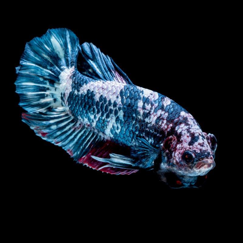 Betta fish Fight in the aquarium. Black blackground stock photo