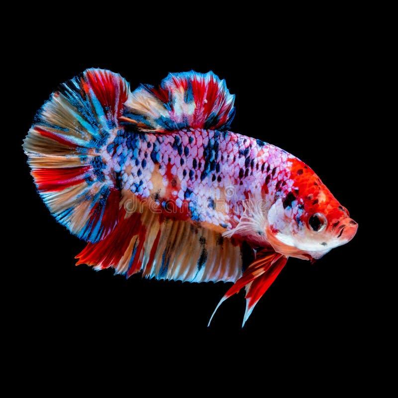 Betta fish Fight in the aquarium. Black blackground royalty free stock photos