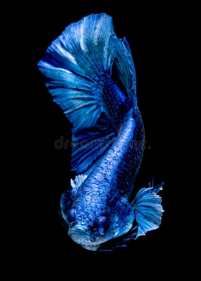 Betta fish Fight in the aquarium. Black blackground royalty free stock image