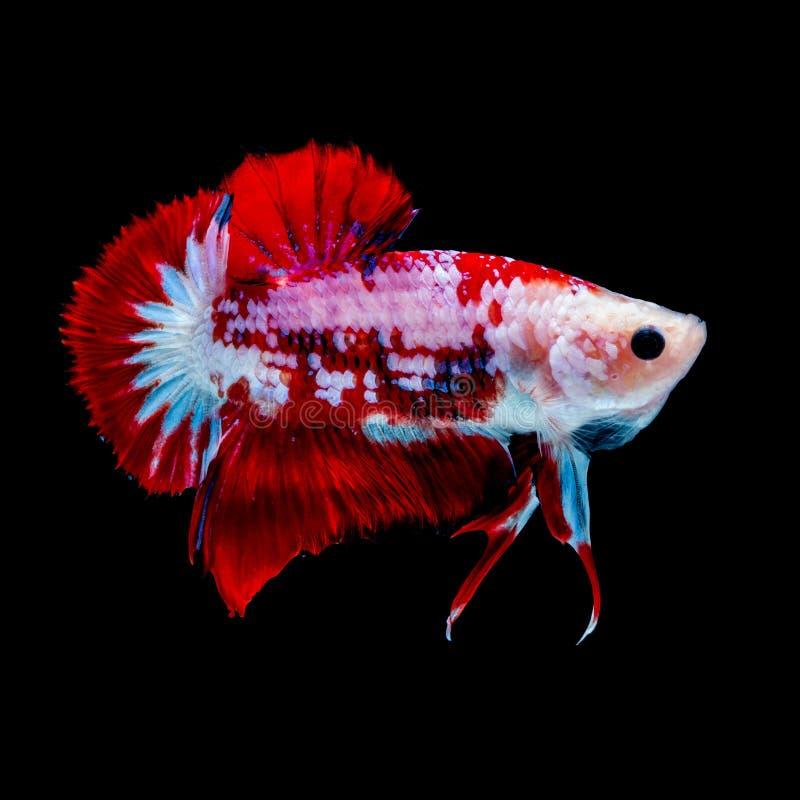 Betta fish Fight in the aquarium. Black blackground stock images