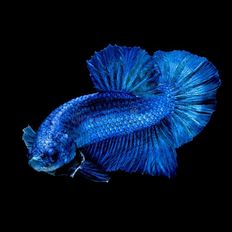 Betta fish Fight in the aquarium. Black blackground stock photography