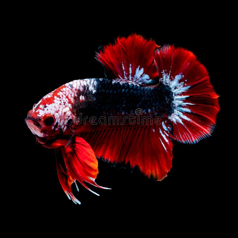 Betta fish Fight in the aquarium. Black blackground stock image
