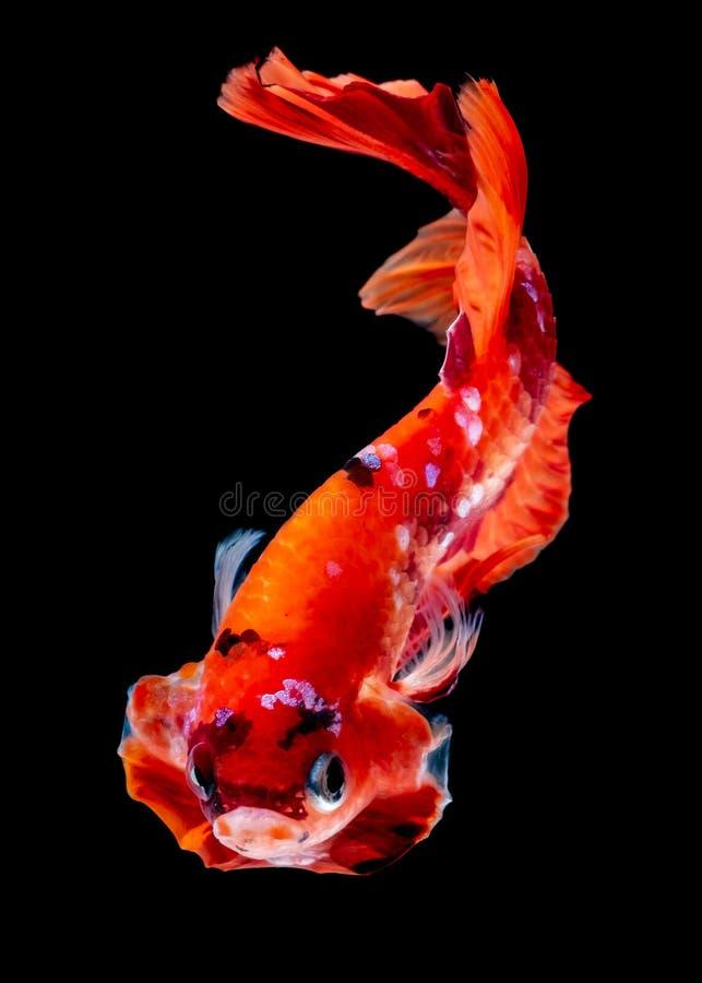 Betta fish Fight in the aquarium. Black blackground stock photos