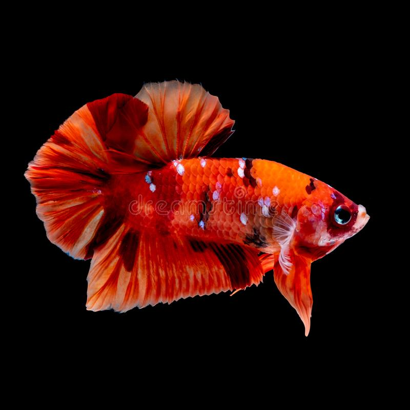 Betta fish Fight in the aquarium. Black blackground royalty free stock images