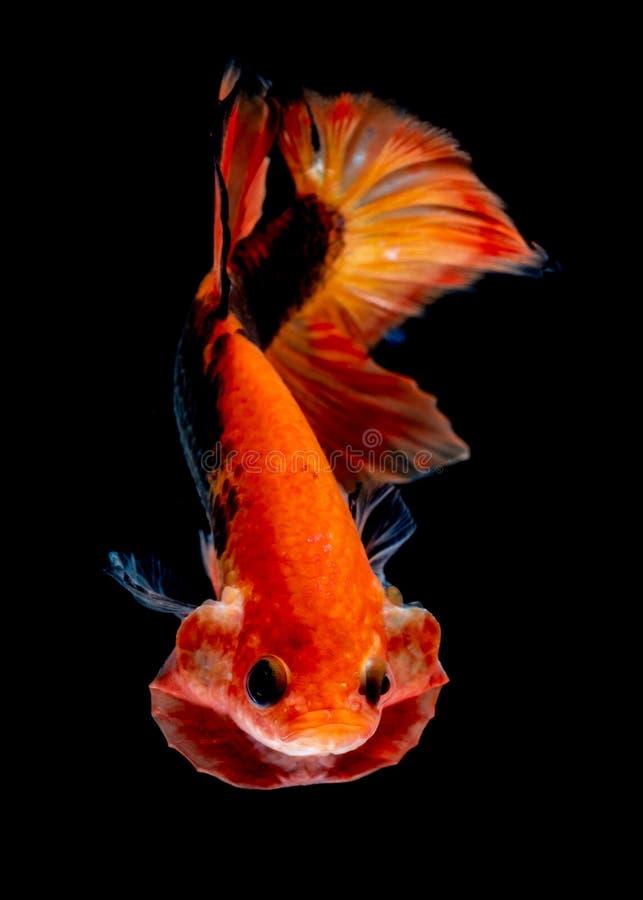 Betta fish Fight in the aquarium. Black blackground royalty free stock photo