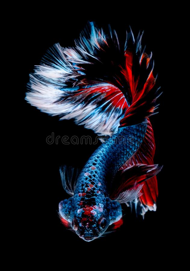 Betta fish Fight in the aquarium. Black blackground stock photography