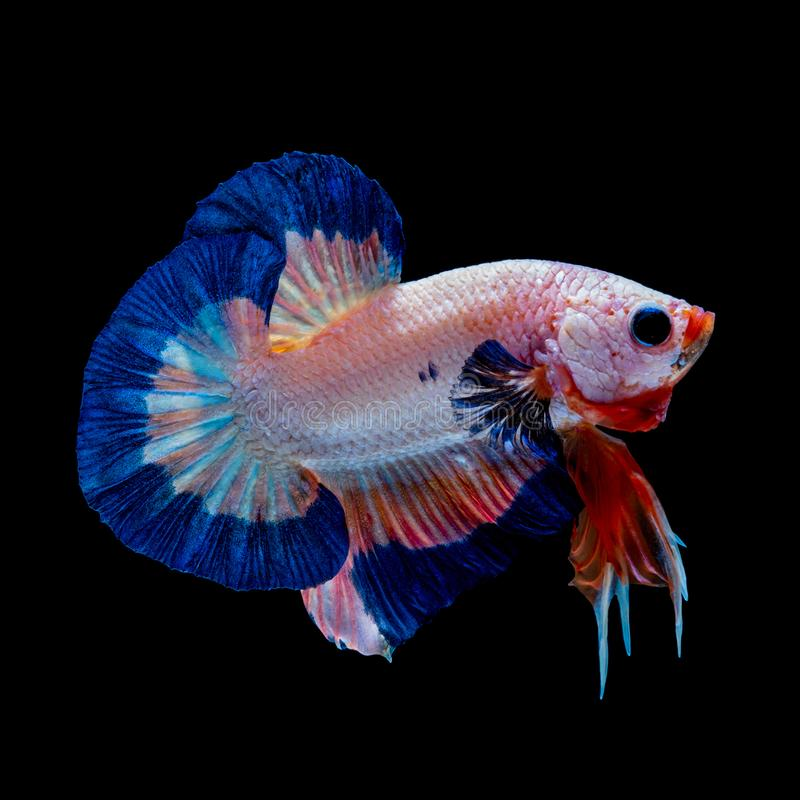 Betta fish Fight in the aquarium. Black blackground stock photos