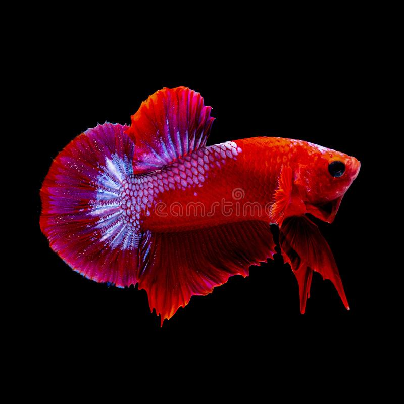 Betta fish Fight in the aquarium. Black blackground stock photo