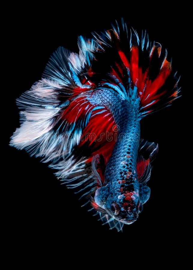 Betta fish Fight in the aquarium. Black blackground stock images