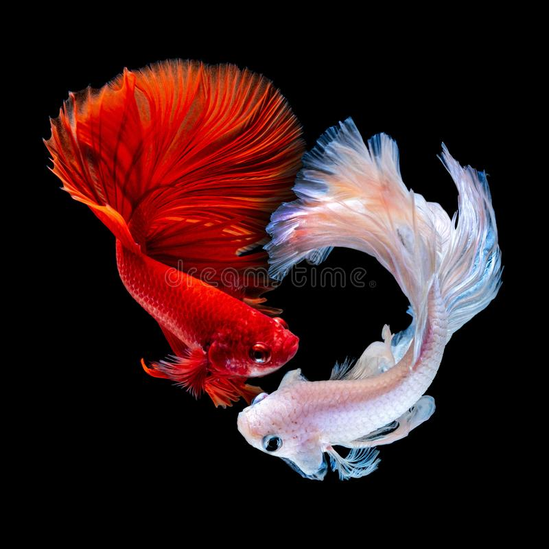 Betta fish Fight in the aquarium. Black blackground royalty free stock photography
