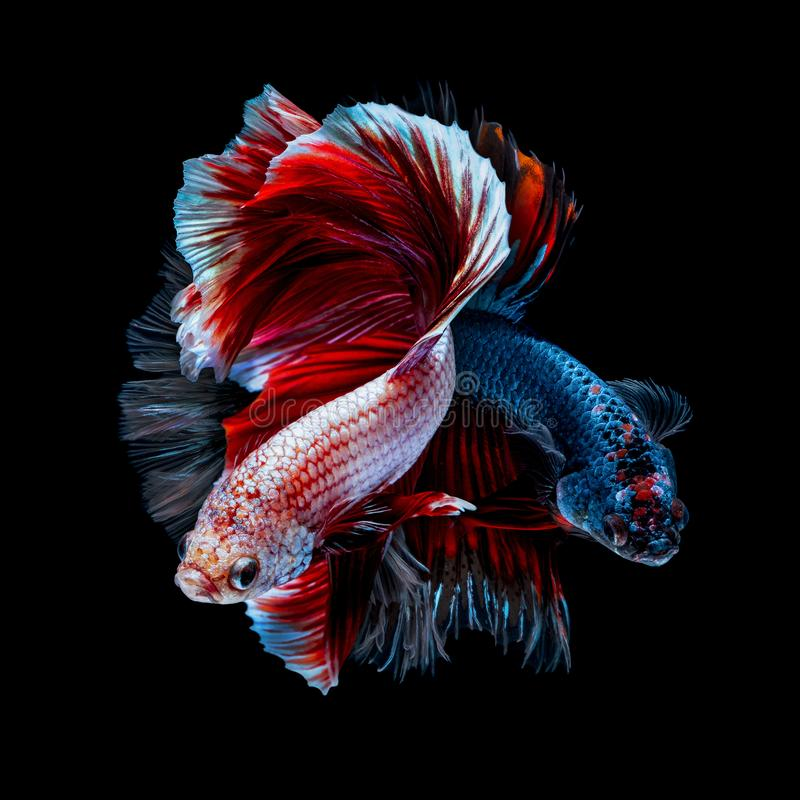Betta fish Fight in the aquarium. Black blackground royalty free stock images