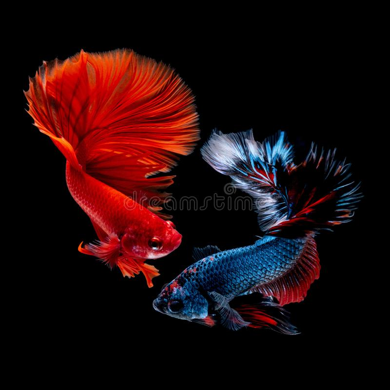 Betta fish Fight in the aquarium. Black blackground royalty free stock image