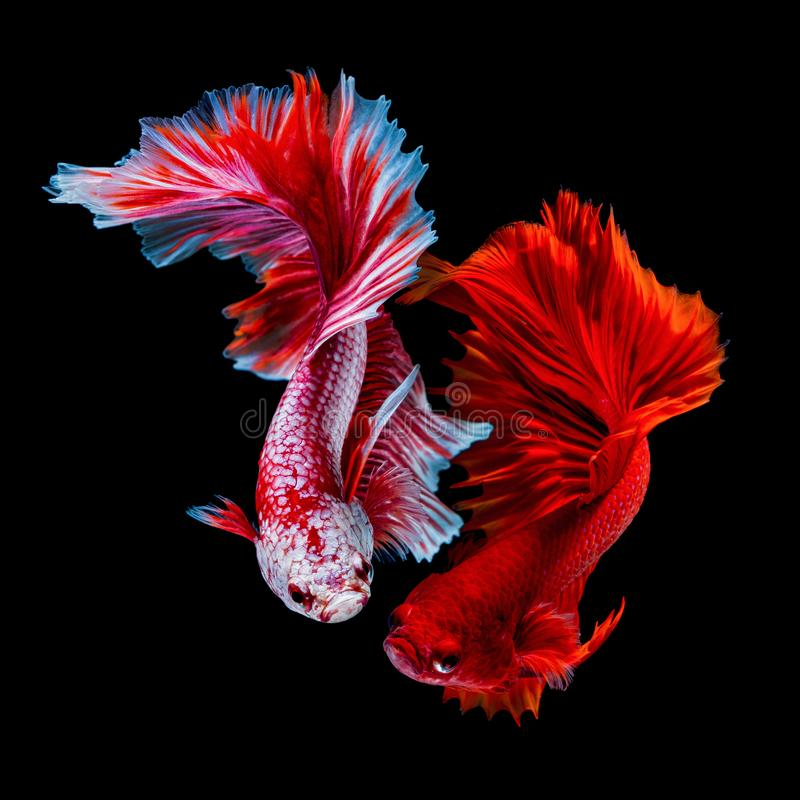 Betta fish Fight in the aquarium. Black blackground royalty free stock photo