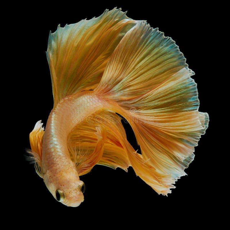 Betta fish. Gold betta fish, fighting fish , siamese fighting fish isolated on black background stock photography
