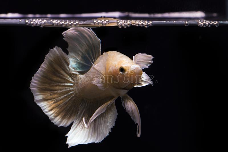 Betta fish gold and yellow fish on the water surface, Betta Fish type of Big ear. Betta fish gold and yellow fish on the water surface, betta fish  of  . fish royalty free stock image