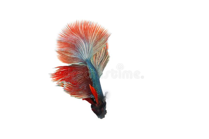 Betta fish isolated on white background. royalty free stock images
