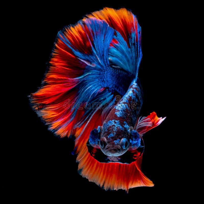 Betta fish koi fish kohaku Red White. Betta fish Koi fish Red White in the aquarium black blackground royalty free stock photography