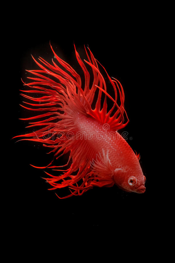 Betta fish. My pet Siamesse Fighting fish (Betta splendens), also sometimes known as the Betta, which is popular as an aquarium fish royalty free stock photography