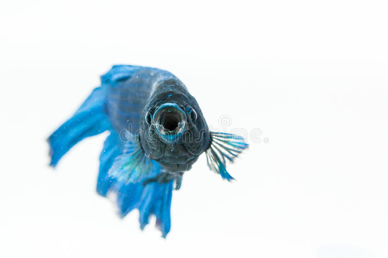 Betta fish with open mouth. Betta fish opening its mouth and facing to camera. Also known as fighter fish stock photos