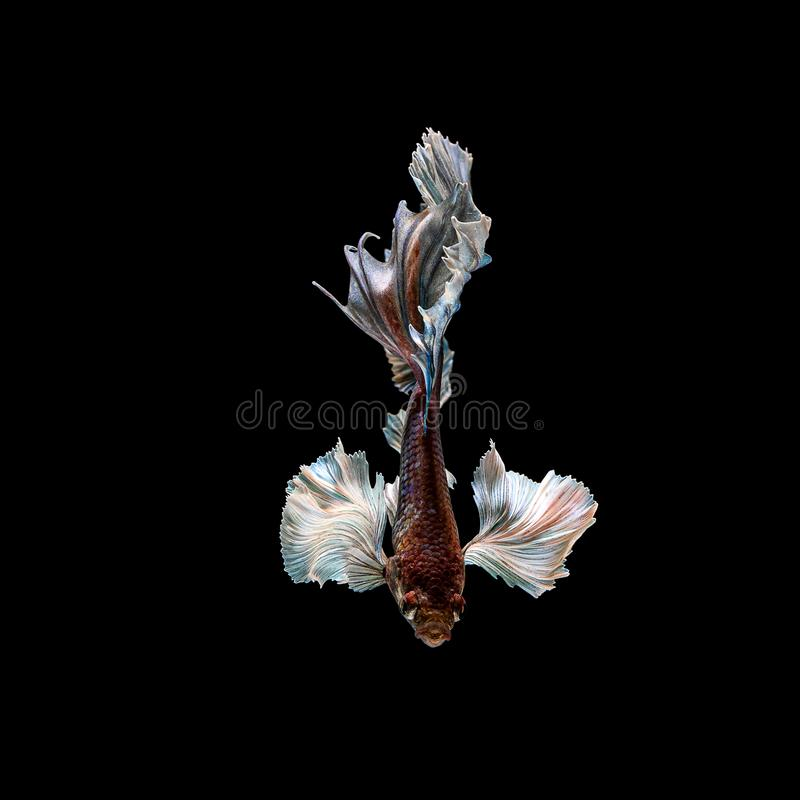 Betta fish, siamese fighting , betta splendens isolated on black background. Abstract, aggressive, amazing, animal, aquarium, aquatic, beautiful, beauty, bowl royalty free stock image