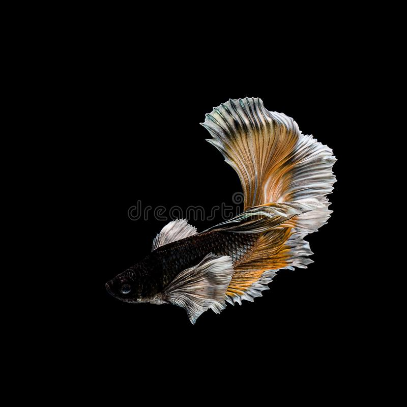 Betta fish, siamese fighting , betta splendens isolated on black background. Abstract, aggressive, amazing, animal, aquarium, aquatic, beautiful, beauty, bowl stock images