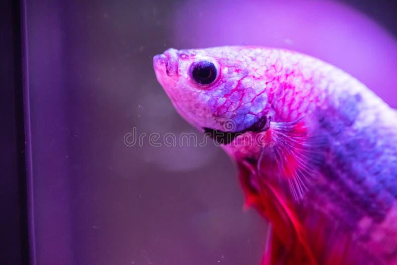 Betta fish, siamese fighting fish, betta splendens close up.  royalty free stock photos