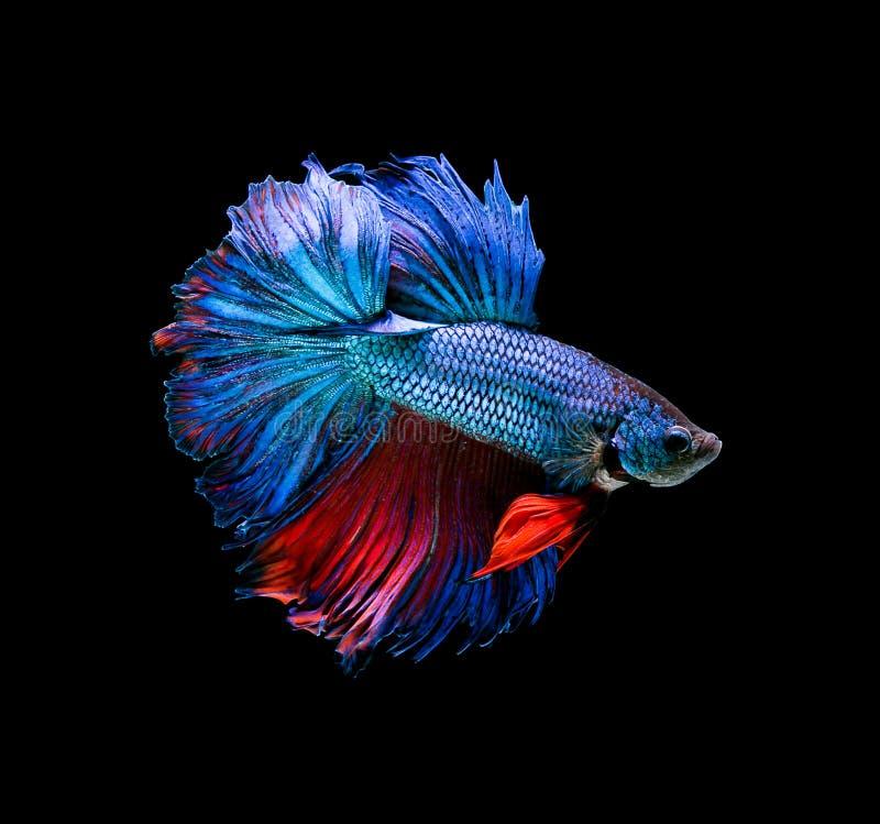 Betta fish, siamese fighting fish, betta splendens isolated on black background. royalty free stock photo