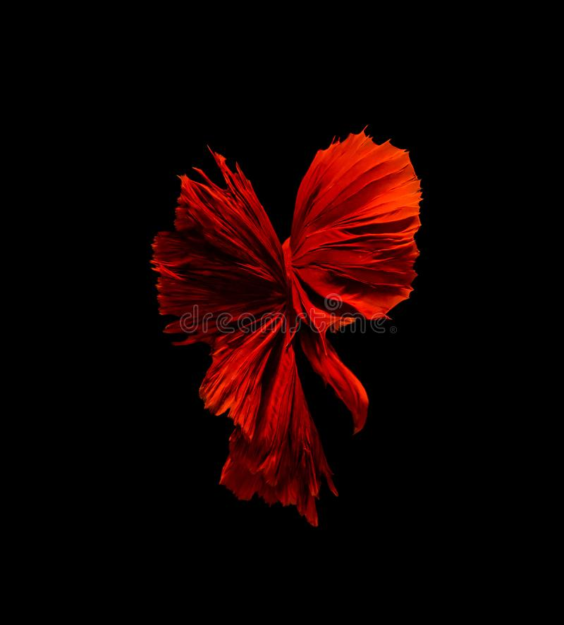 Betta fish, siamese fighting fish, betta splendens isolated on black background. Action, aggressive, animal, aquarium, aquatic, beautiful, beauty, close-up royalty free stock images
