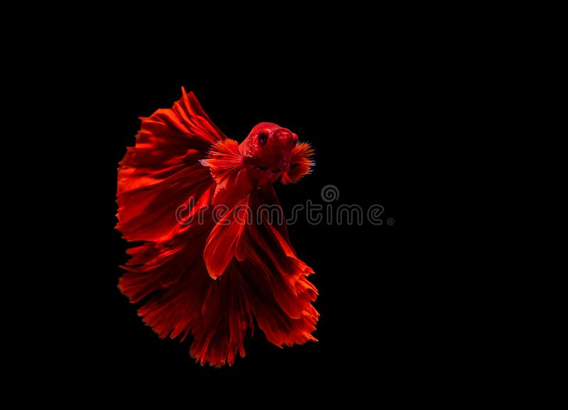 Betta fish, siamese fighting fish, betta splendens isolated on black background. Abstract, aggressive, amazing, animal, aquarium, aquatic, beautiful, beauty royalty free stock image