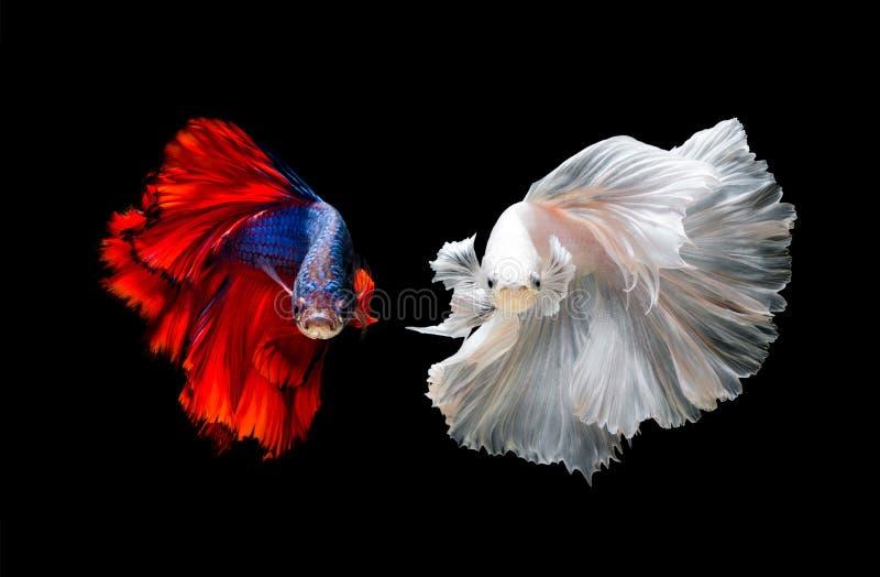 Download Betta FishSiamese Fighting Fish In Movement Stock Image - Image of action & Betta FishSiamese Fighting Fish In Movement Stock Image - Image of ...