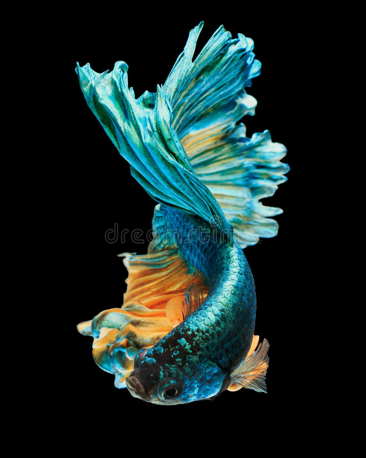 Betta fish. Siamese fighting fish 'Half moon' isolated on black background stock photography