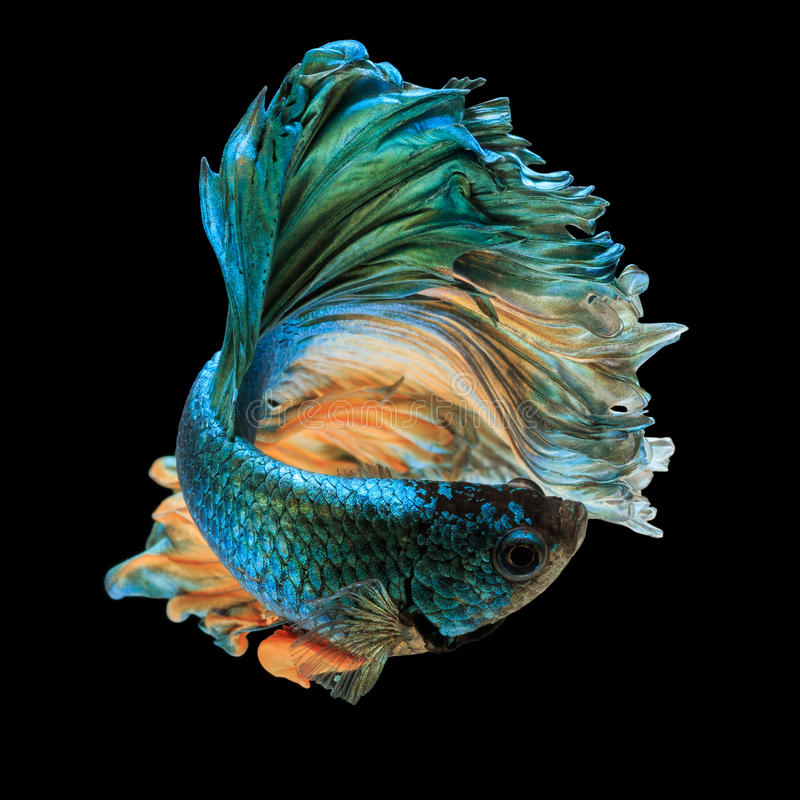 Betta fish stock image