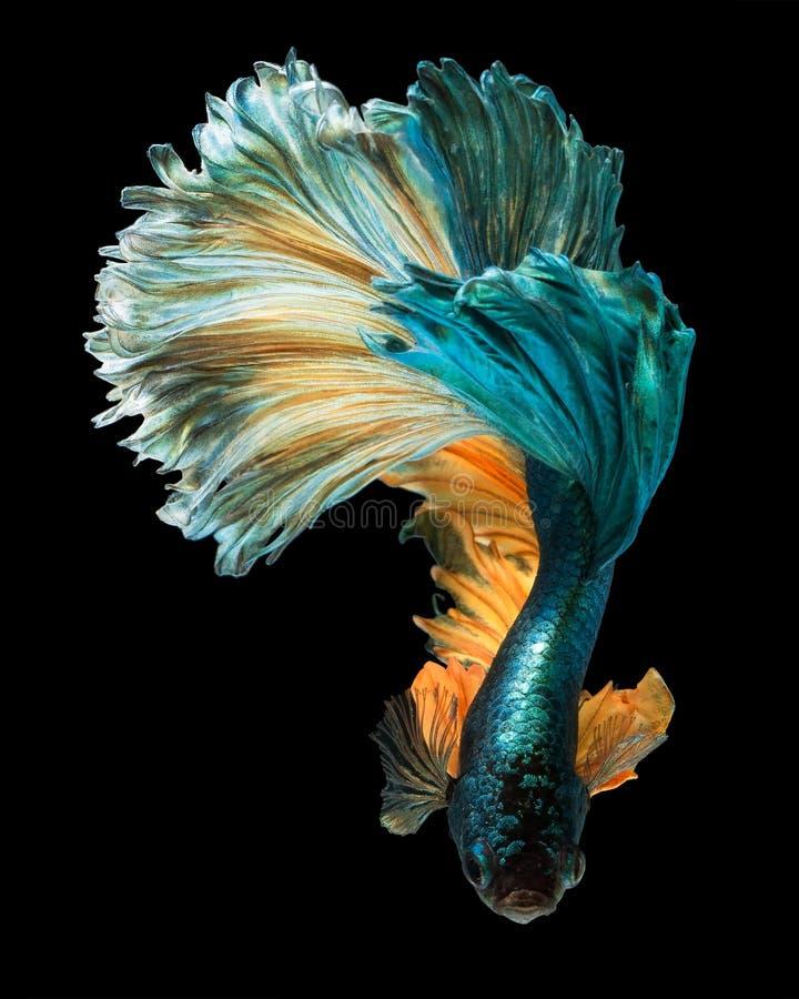 Betta fish. Siamese fighting fish 'Half moon' isolated on black background royalty free stock image
