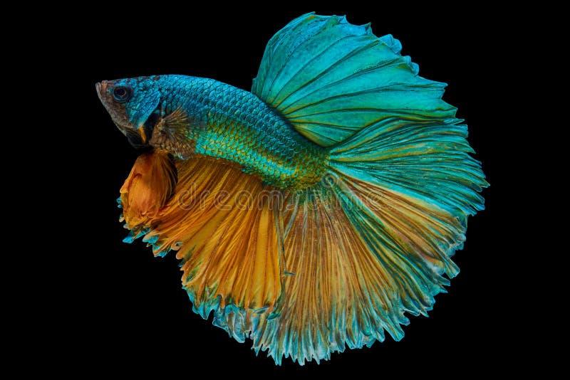 betta fish royalty free stock photos