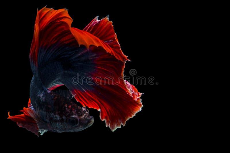 Betta fish, siamese fighting fish, betta fish Halfmoon betta isolated on bl. Betta, fish, siamese, fighting, halfmoon, isolated, bl, red, flower, nature, rose stock photo