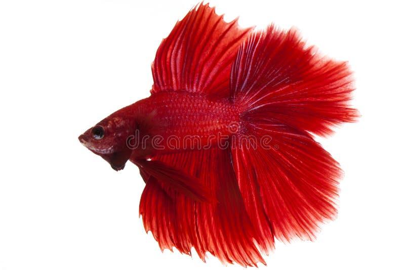 Betta fish. Siamese fighting fish, betta fish isolated on white background stock image