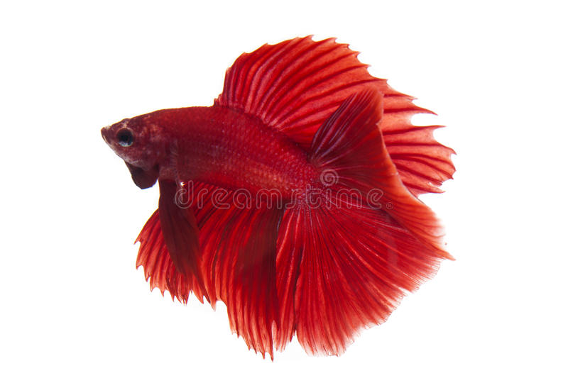 Betta fish. Siamese fighting fish, betta fish isolated on white background royalty free stock photography