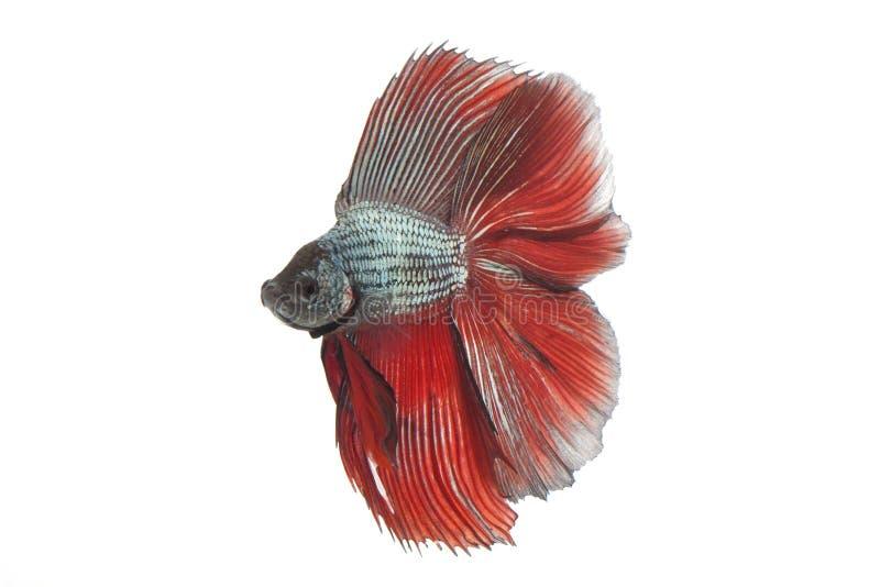 Betta fish royalty free stock photo