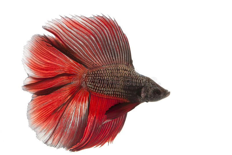 Betta fish. Siamese fighting fish, betta fish isolated on white background royalty free stock images