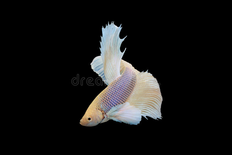 Betta fish. Siamese fighting fish in movement isolated on black background royalty free stock image