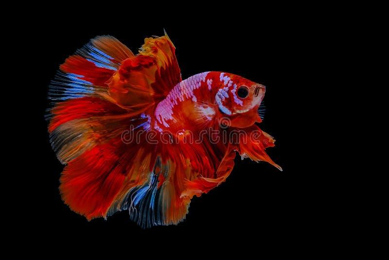 Betta fish siamese fighting. Fish betta splendens stock image