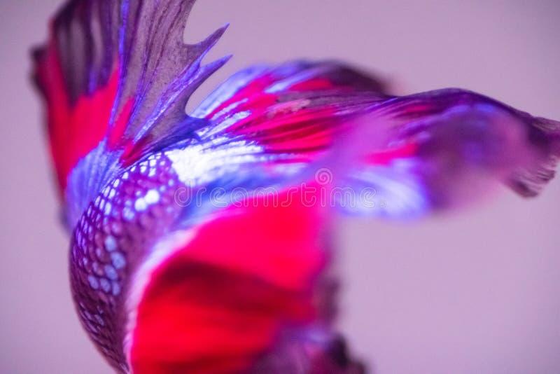 Betta fish, siamese fighting fish, betta splendens close up.  royalty free stock image