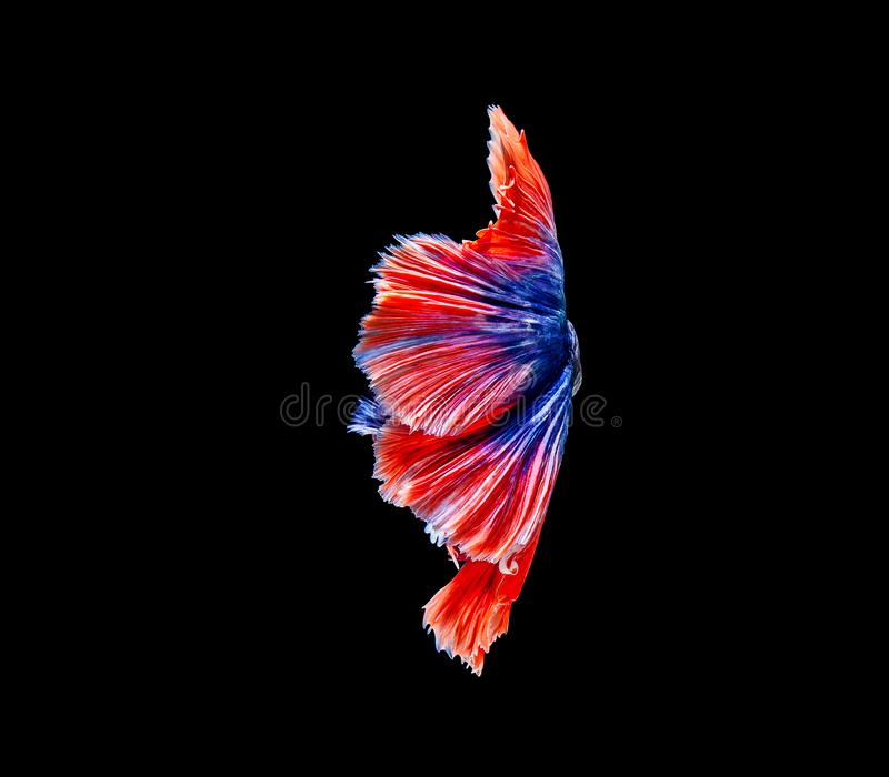 Betta fish, siamese fighting fish, betta splendens isolated on black background royalty free stock images