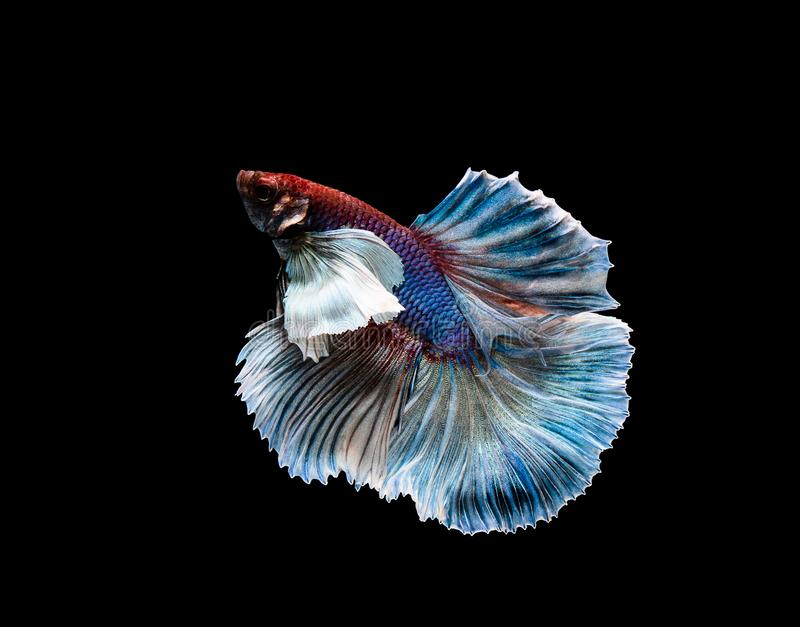 Betta fish, siamese fighting , betta splendens isolated on black background. Aggressive, animal, aquarium, aquatic, beautiful, beauty, blue, color, colorful stock photo