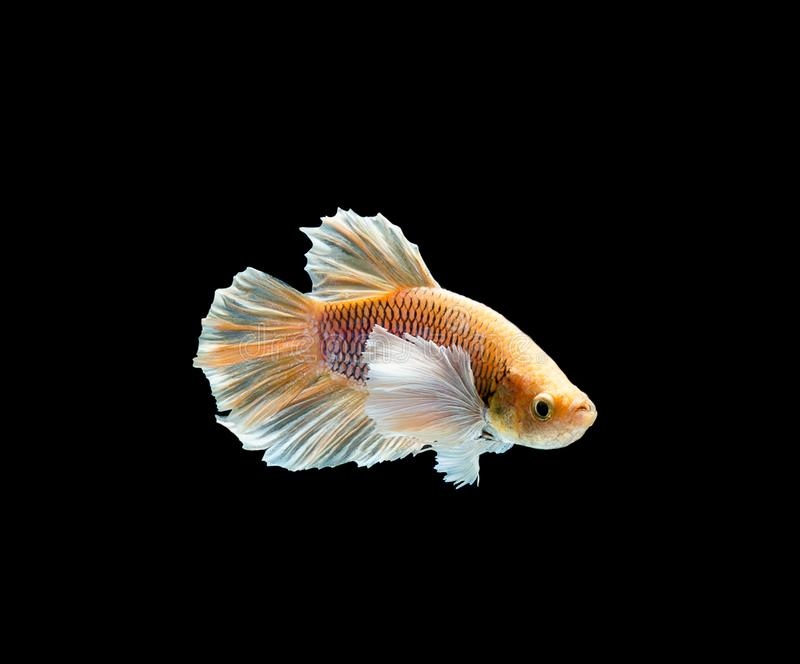 Betta fish, siamese fighting , betta splendens isolated on black background. Action, aggressive, animal, aquarium, aquatic, beautiful, beauty, biology, color royalty free stock images