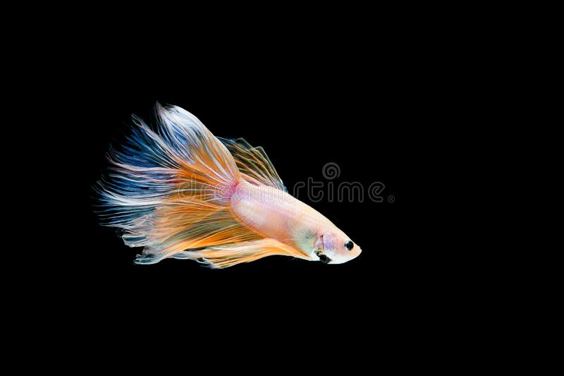 Betta fish, siamese fighting , betta splendens isolated on black background. Action, aggressive, animal, aquarium, aquatic, beautiful, beauty, biology, color stock image