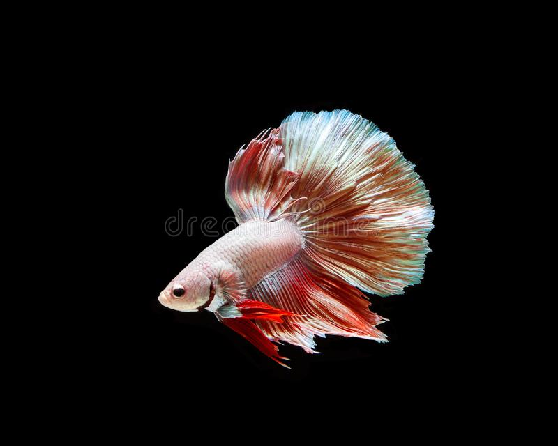 Betta fish, siamese fighting , betta splendens isolated on black background. Action, aggressive, animal, aquarium, aquatic, beautiful, beauty, biology, color stock photos